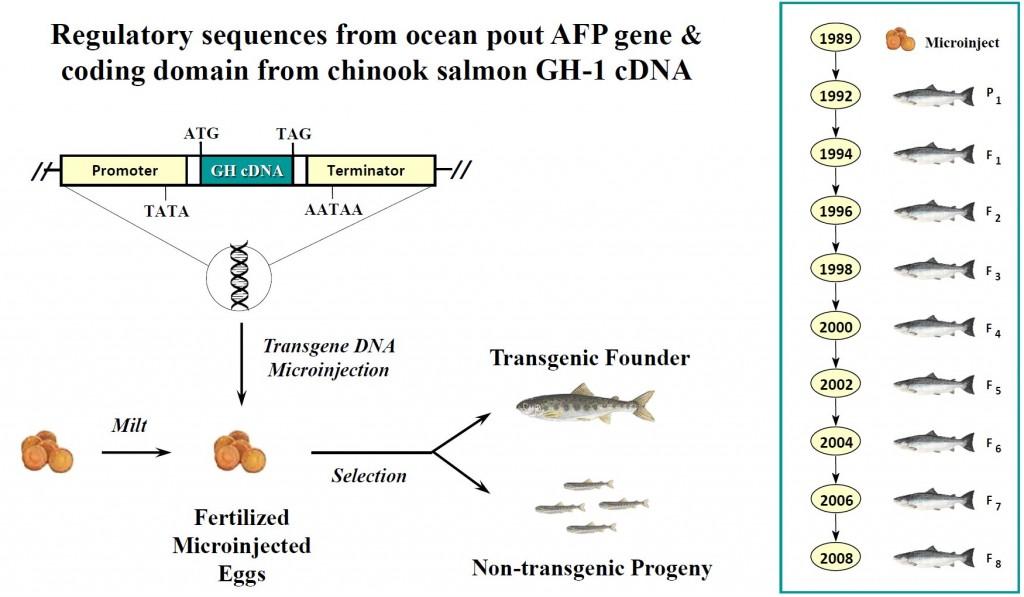 AquAdvantageSalmonTransgenicDNAconstruct