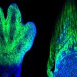 手の発生と魚の胸びれの発生とに共通する遺伝子発現制御機構をシカゴ大の研究チームが発見